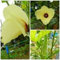 オクラの花とキユイ