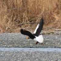 オオワシ成鳥、幼鳥から鮭を奪う