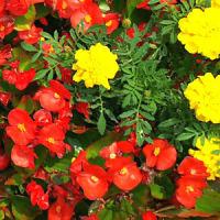 華やかなベゴニアの花壇
