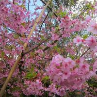 河津桜とチューリップ
