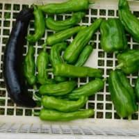 夏野菜採れ始め