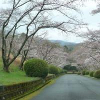 今年 2020年 橋本カントリーの桜 情報