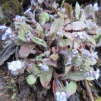 −4℃の庭、涼し気に咲く山瑠璃草