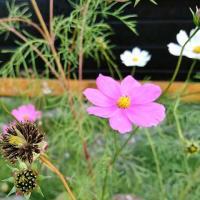 お花の種の収穫
