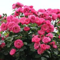 群馬県甘楽郡下仁田町の山里では、カシワバアジサイの花が咲いています