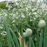 ネギボウズとダイコンの花