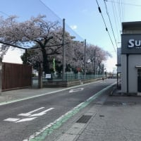 店前の桜が満開に