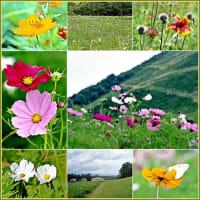 雲谷高原に咲くコスモス