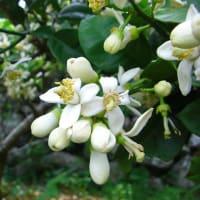 柑橘類・蜂蜜の生産者 井上清澄さんより 5月13日記