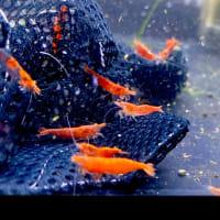 淡水魚入荷情報