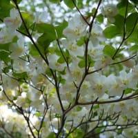 479シロヤシオ、アケボノツツジ咲く竜口尾根・又剣山