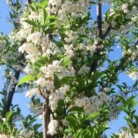 エゴノキの花は