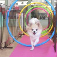 新入犬のトイプードルの【チーズくん】 犬のしつけ教室@アロハドギー