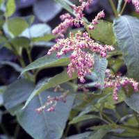 オヤマソバ(燕山荘の南斜面のお花畑)