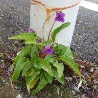 ガードレール下にスミレの花が