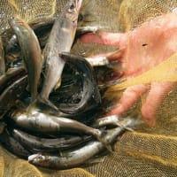 今年最後の鮎釣り狩野川へ