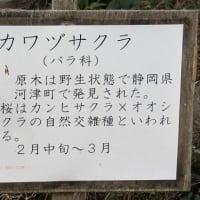 俵山のレットさんと、猫さんとパンとメジロとカワヅザクラ。