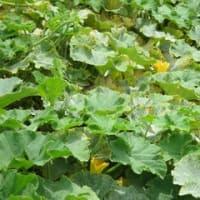 野菜の花 カボチャ キュウリ