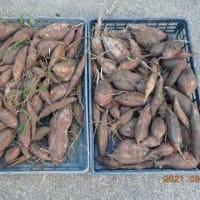 サツマイモ1畝分掘りましたが