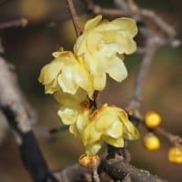 福寿草開花、蕗の薹、シデコブシ蕾、蝋梅満開