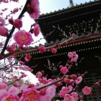 京の1枚      嵯峨釈迦堂(清凉寺)の枝垂れ梅