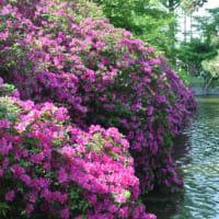 仏生山公園のつつじ  5月1日