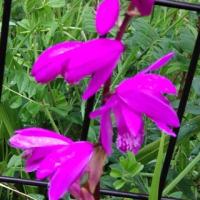 鮮やかな紫蘭