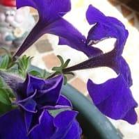 水無月18日 紫3番星形で弾けて