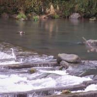 春の早川に鳥達が集まる(アオサギ・カルガモ・カワウ)