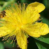 ●ヒペリカム・カリシナムにミツバチくん ムラサキツユクサにアブ