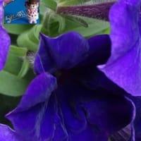 SHOUT!@長崎に星形で弾けた濃紫星のつづき