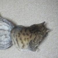 ぎんちゃんの枕