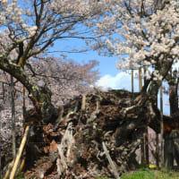 咲き誇る神代桜に会い、2000年の華やぎに触れる。