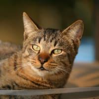 トラ猫の日光浴