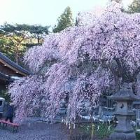 【楽翁桜開花状況 4月20日 満開】