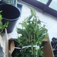 お茶の苗木・・・ご希望の方に、お裾分けいたします。鉢植えや花壇のに・・・