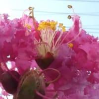 夏真っ盛りの期間、サルスベリが咲き続けています
