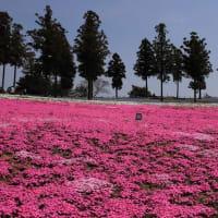 太田八王子山公園の芝桜2019