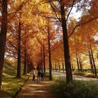 金沢の「冬のソナタ」の聖地。太陽が丘のメタセコイアの並木道を撮ってきた