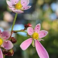大文字草、紫人字草 - 憩の農園