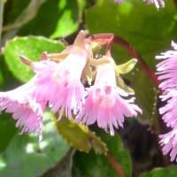 初夏の北軽井沢・・・「浅間園」の散歩・・・イワカガミ、コケモモに逢った