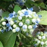 アオノヒトミの花は