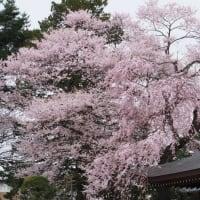 仙台も桜が見ごろになりました 満開宣言