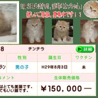 子猫販売/チンチラゴールデン/ペットショップブリーダー/キャッテリースマートスイートピー
