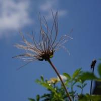 返り咲きの チングルマ