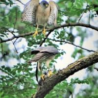 今日の野鳥  ツミの餌渡し  ・  オナガ
