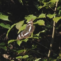 蜻蛉 アキアカネ・ミヤマアカネ 蝶 キタキチョウ・メスグロヒョウモン・ヤマトシジミ