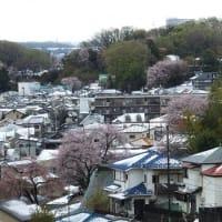 満開の桜に春の淡雪 2020.3.29