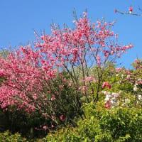 まん延防止措置 変異株の拡大に備えよ/重点措置拡大 波の山抑える具体策を/キクモモ、源平花桃、八重しだれ桜