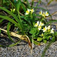 ウンラン咲く、庄内砂丘「砂の女」はどこに! 山形県鶴岡市。